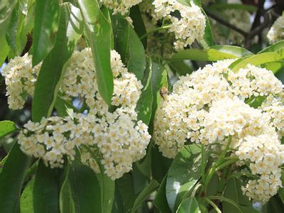 石楠花,学名photinia serrulata