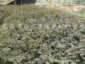 门 属: 被子植物门   门拉丁名:magnoliophyta   纲 属: 双子叶植物图片