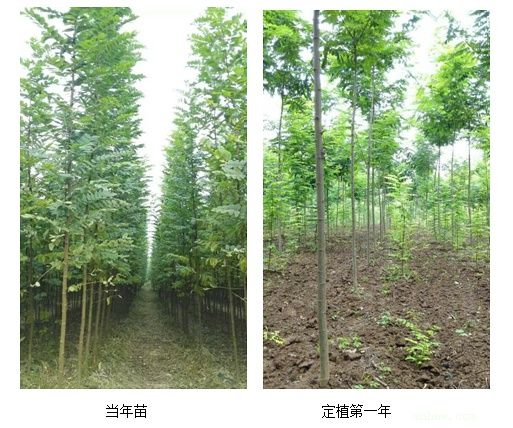 供应速生泓森槐苗 替代按树的的泓森槐 神十泓森槐苗图片